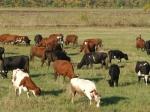 ВКалмыкии вывели «антикризисных» коров