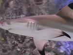 ВКалининградском зоопарке посетителям снова покажут акулу, страдающую нервным расстройством