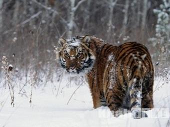 ВВяземском районе наохотника напал амурский тигр