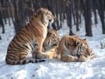 Учет популяции амурского тигра начался вХабаровском крае