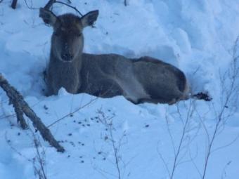 Внацпарке Хабаровского края пытаются спасти изюбриху