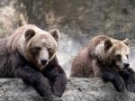 Двух бурых медведей отберут уресторана вСочи потребованию прокуратуры