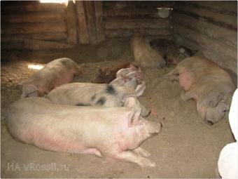 Сообщение Россельхознадзора: Африканская чума свиней натерритории Московской, Орловской иБрянской областей