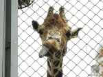 Взоопарке Калининграда собираются доить жирафа