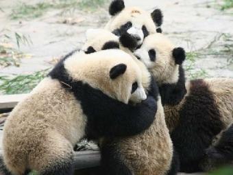 ВКитае панды устроили массовую драку взаповеднике