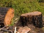 Под Судаком браконьеры срубили деревьев намиллион