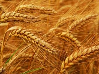 Минсельхоз проанализировал экспорт зерна