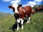 Россия может ввести запрет напоставки скота изКанады
