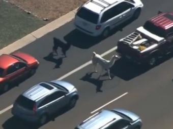 Полиция Аризоны впогоне задвумя ламами— Прямой эфир