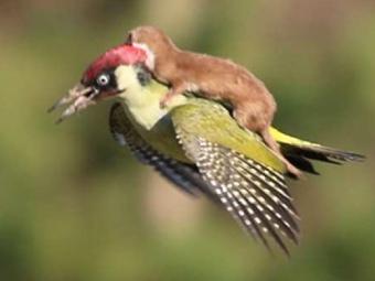 Влондонском парке ласка летала верхом надятле
