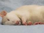 Ученые поместили ложные воспоминания вмозг спящей мыши
