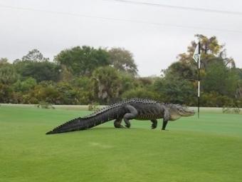 Гигантский аллигатор приполз наполе для гольфа вовремя женского турнира
