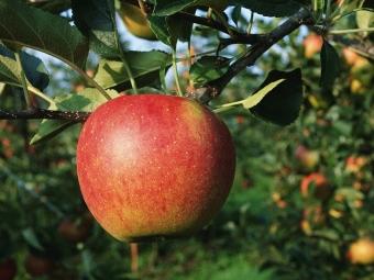 ВЛатвии растет дикая яблоня состволом вчетыре метра вобхвате