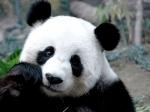 Житель Китая получит $83 тыс. вкачестве компенсации занападение панды