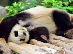 Эдинбургский зоопарк опубликовал видео спадающей пандой
