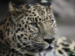 Трутнев заплатил заубитого леопардом телка 70 мешков овса