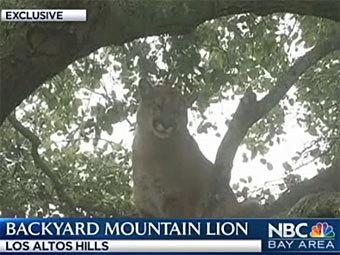 Калифорнийский пес загнал на дерево пуму