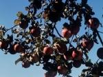 Более 40 лип и яблонь посадят на Миусской площади на месте вырубки