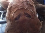На ферме в США родился двухголовый теленок