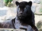 В мексиканском зоопарке родился чёрный ягуар