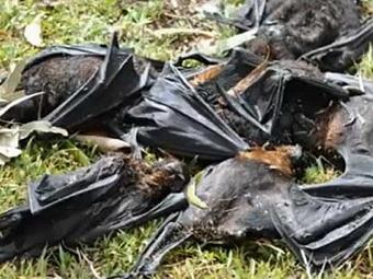 В Австралии из-за жары погибло более ста тысяч летучих мышей