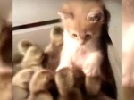 Видео окотенке иутятах набирает популярность наYouTube
