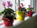 Цикламен: особенности ухода в домашних условиях