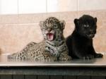 ВЛенинградском зоопарке родились две самки ягуара
