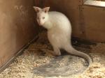 Имя для кенгуренка-альбиноса выбирают вЯрославском зоопарке