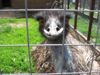 Семья страусов появилась виркутском детском зоопарке