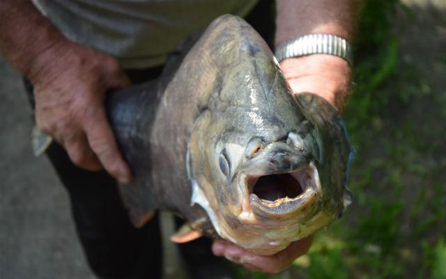 ВСвердловской области рыбак выловил пиранью