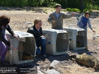 НаКургальском полуострове после реабилитации наволю выпустили трех тюленей