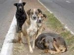 ВПерми возобновляется отлов бродячих собак