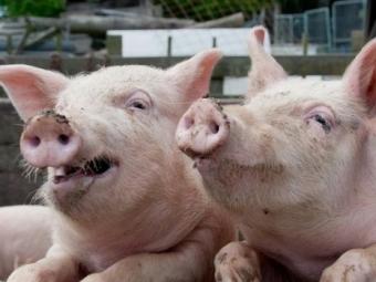 Кормивший свиней марихуаной пенсионер задержан вРостовской области