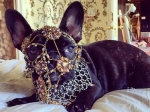 Леди Гага: бульдог эстрадной певицы зарабатывает деньги