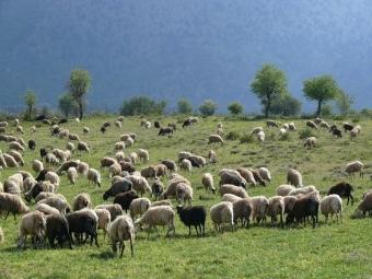 ВСтавропольском крае принята программа развития овцеводства