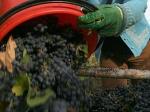 Россия может потерять до половины урожая винограда