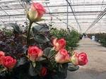 Итальянцы построят в России крупный тепличный комплекс для роз