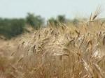Россия отменила эмбарго на поставку пшеницы