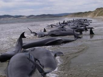 ВНовой Зеландии 200 дельфинов выбросились наберег