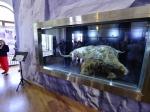 Найденный вЯкутии мамонтенок Юка мог стать жертвой охоты древних людей