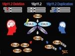 Гены аутизма активируются вовнутриутробном периоде развития