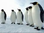 Марш императорских пингвинов вАнтарктиде