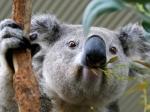Российские дипломаты высказались поповоду убийства коал вАвстралии
