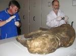 На Ямале нашли мамонтенка