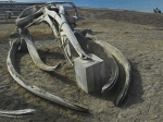 Скелет кита сообщил оподнятии Восточно-Африканской равнины