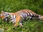 УченыеРФ иКНР могут остановить вымирание тигров