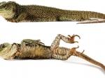 Ученые нашли «мини-драконов» вэквадорских Андах