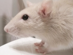 Ученые научили слепых грызунов видеть магнитное поле