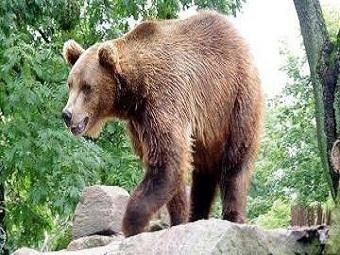 На Камчатке зафиксирован рост бурых медведей